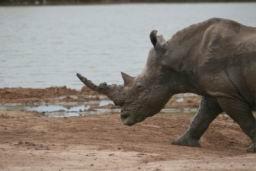 Rhino_Hlane_13.jpg