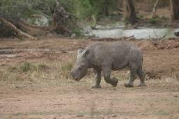 Rhino_Hlane_14.jpg