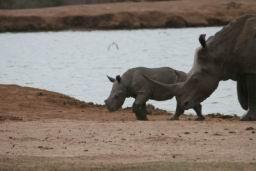 Rhino_Hlane_17.jpg