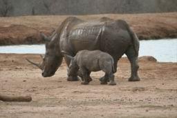 Rhino_Hlane_18.jpg