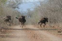 Wildebeest_Hlane_02.JPG