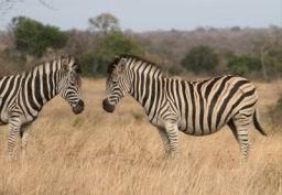 Zebra_02.jpg