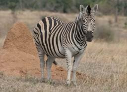 Zebra_05.jpg