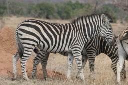 Zebra_06.jpg