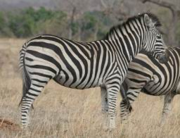 Zebra_07.jpg