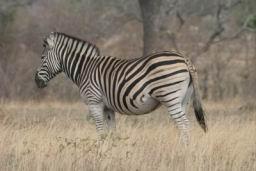Zebra_08.jpg