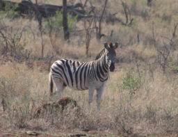 Zebra_09.jpg