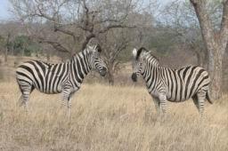 Zebra_10.jpg
